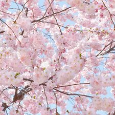 DM155 Pink Blossoms Wall Mural by Brewster